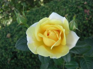 Yellow Rose of Friendship